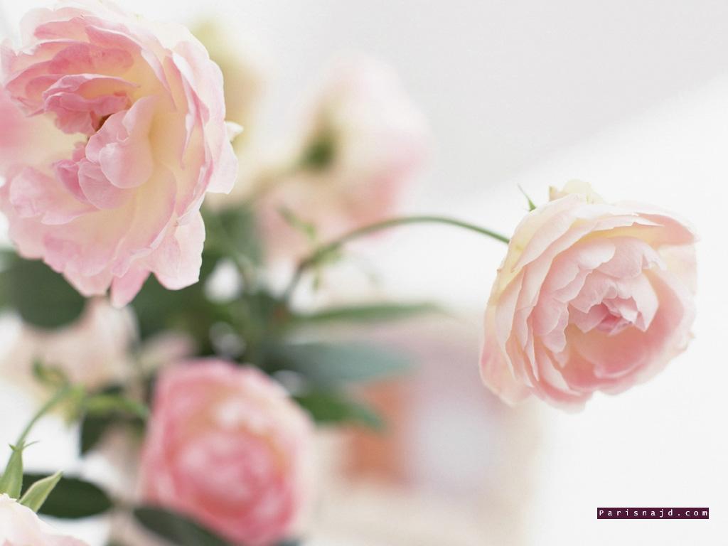 الورد  جميل .........  جميل  الورد Untitled6