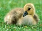 ������ ���� �������� ����� �������... Canada_Gosling_1024x768.jpg